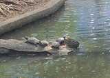 lumpini park tortues